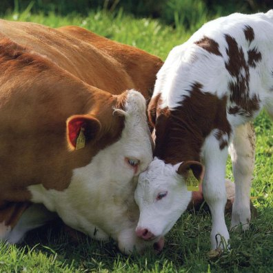 cows -mother-cow-and-calf1