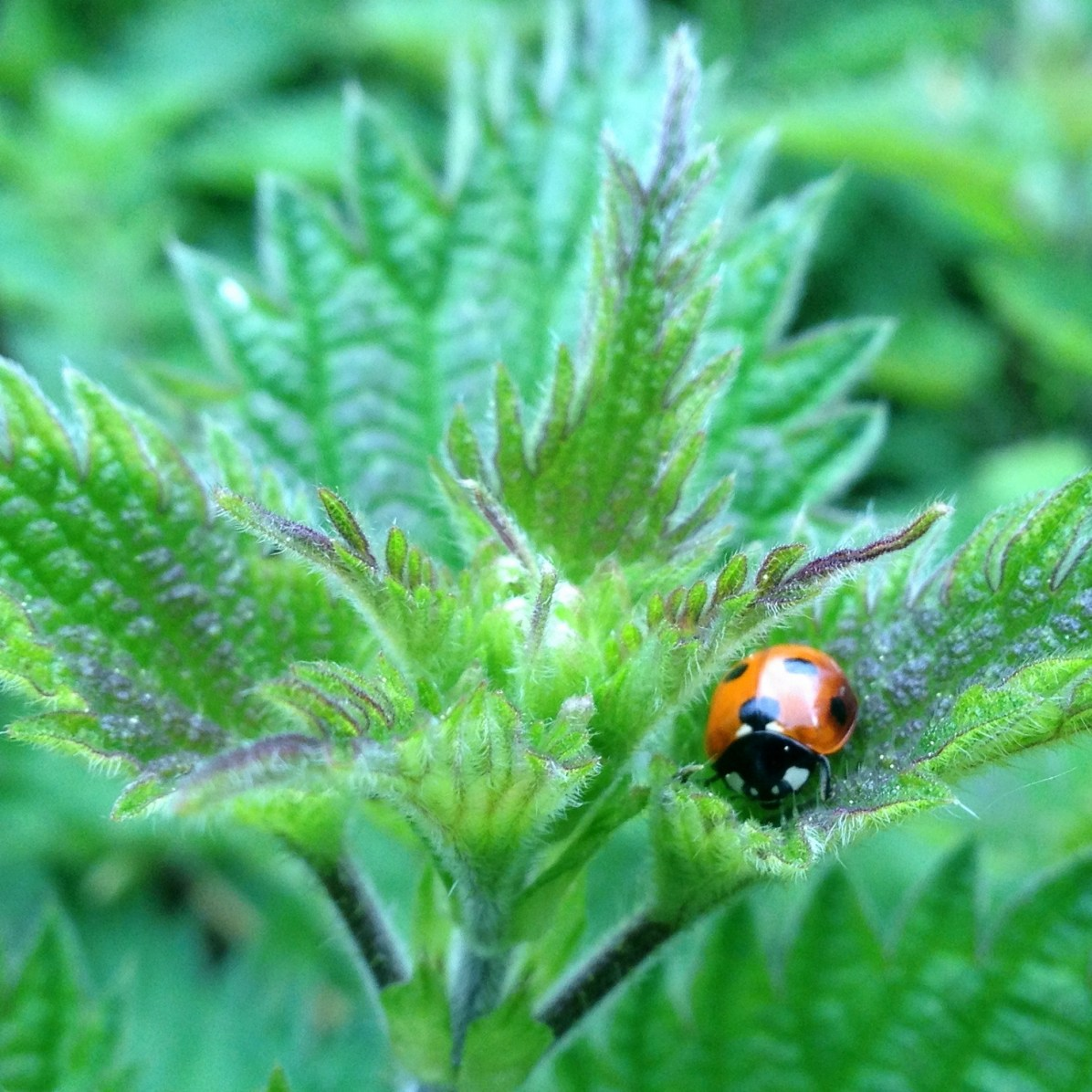 lady bug on nettle best shot
