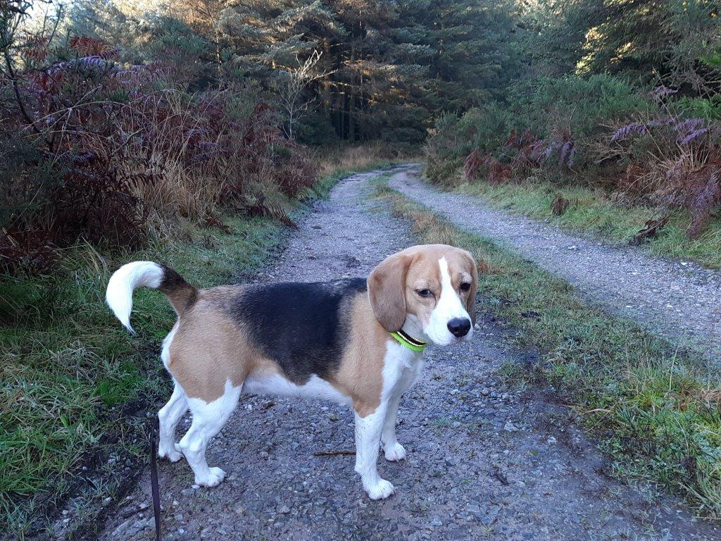 Trinity the beagle