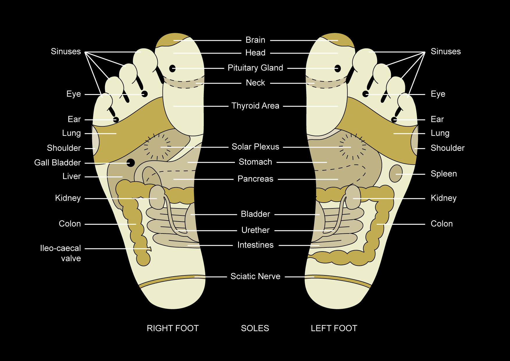 foot nerve endings diagram mr2 3sgte wiring reflexology  a science or an art andrea hurst