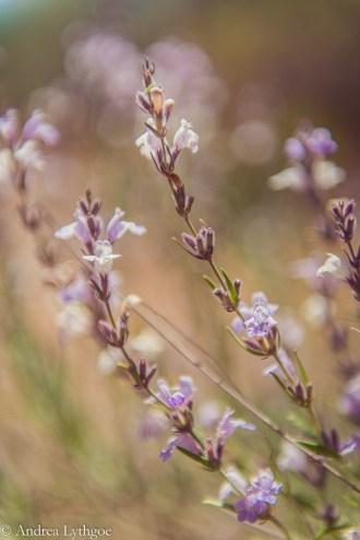 Desert Flowers-1 (2)