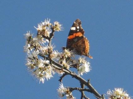 biancospino-e-farfalla