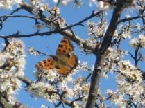 farfalla-e-biancospino1
