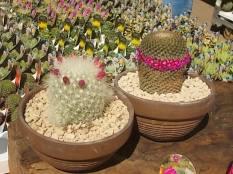 cactus giromagi castiglion del lago (3)