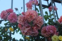 roseto di roma (4)