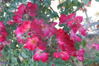 roseto di roma (9)