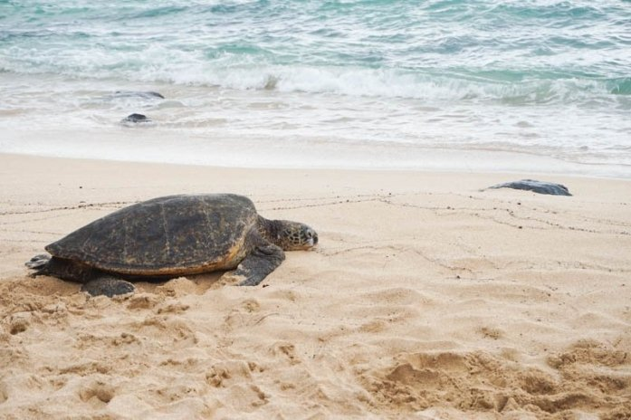 Sea turtle spotted at Laniakea Beach on Oahu, Hawaii