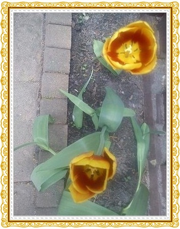 Tulpen23