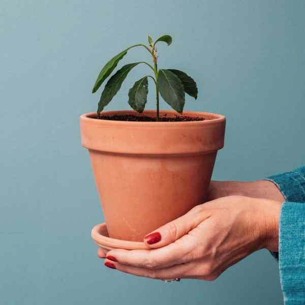 blue solid background. Hands holding small terra cotta pot with 4 inch tall avocado tree plant