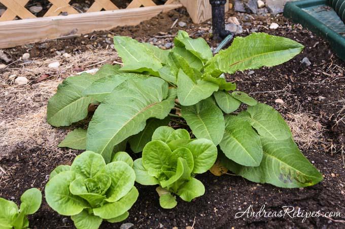 Tatsoi next to butterhead lettuce - Andrea Meyers