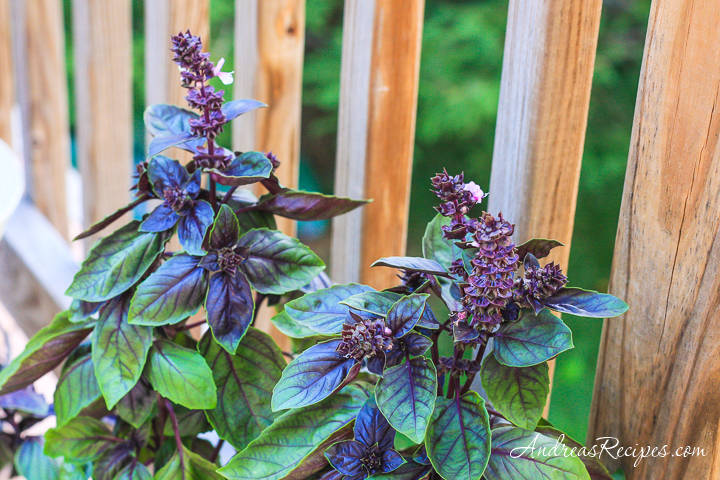 Purple Basil - Andrea Meyers