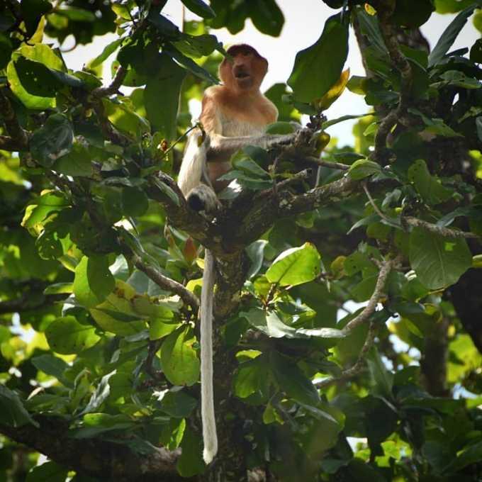 proboscis monkey, Bako National Park, Borneo, Sibu, Sarawak, Malaysia