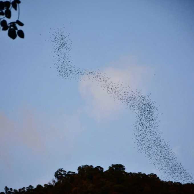 Gunung Mulu, Sarawak, Malaysia, Borneo, bat exodus