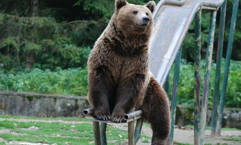 Photo of Din lipsă de fonduri ursul din Sibiu urma să fie liniștit cu cîntece de leagăn