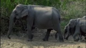 700563705-elefante-asiatico-proteger-sri-lanka-especie-amenazada