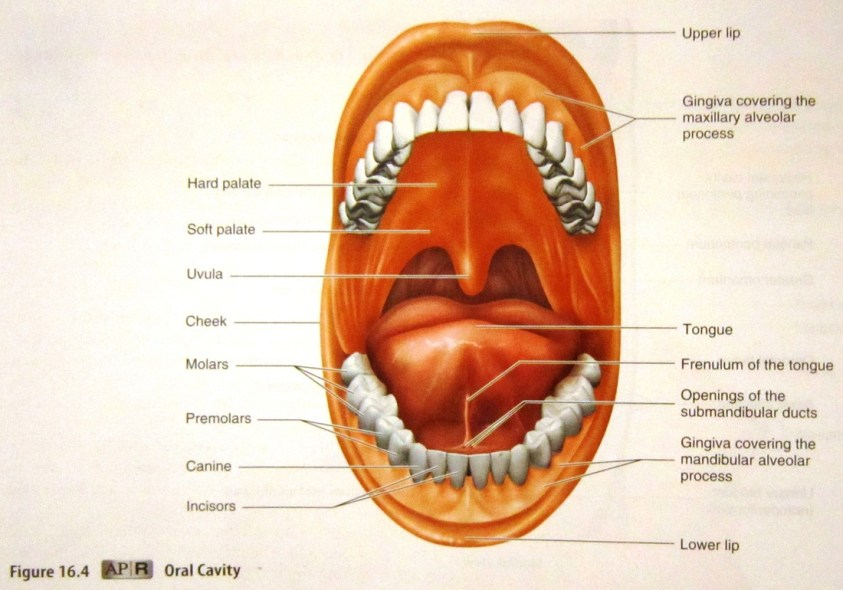 Digestive and Urinary System - Human Anatomy and Physiology