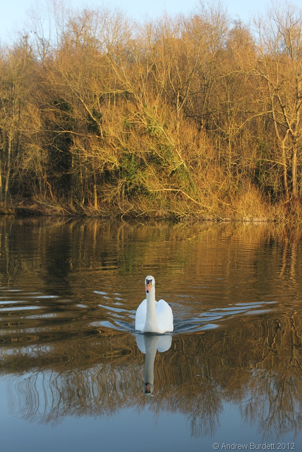 SWIMMING SOLO: A swan swims towards the bank, before continuing downstream. (IMG_1818)
