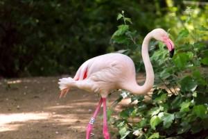 Flamingo at the Berlin Zoo