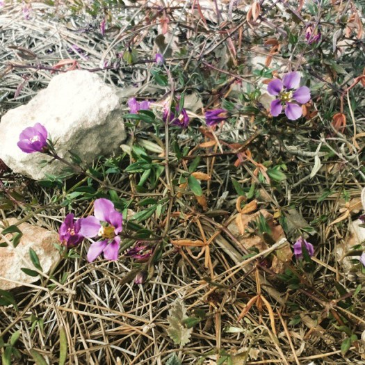 Early spring wildflowers near Salina de La Mata. March, 1, 2015