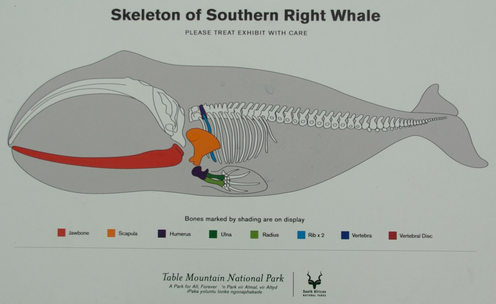 medium resolution of right whale skeleton photo 14