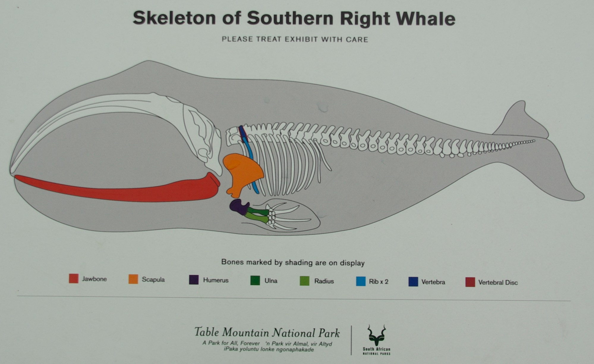 hight resolution of right whale skeleton photo 14