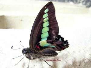 Taiwan Butterfly