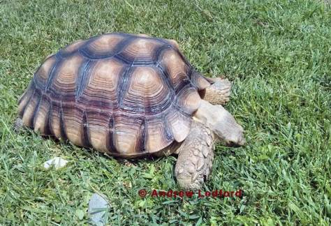 Tortoise Eating Grass In L.B