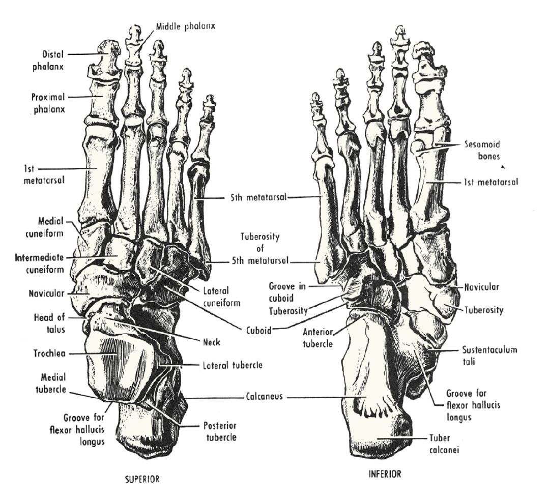 Comparative Foot Morphology Andrew Pulliam