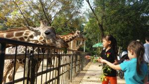 Zirafah di Guangzhou Zoo