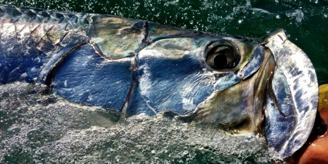 Sanibel Fishing Charters - Tarpon Fishing Ft. Myers