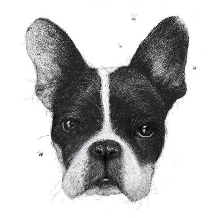 Black and white animal portraits of french bull terrier buzzing with flies