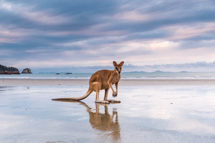 Image of wallaby on the beach at Cape Hillsborough National Park