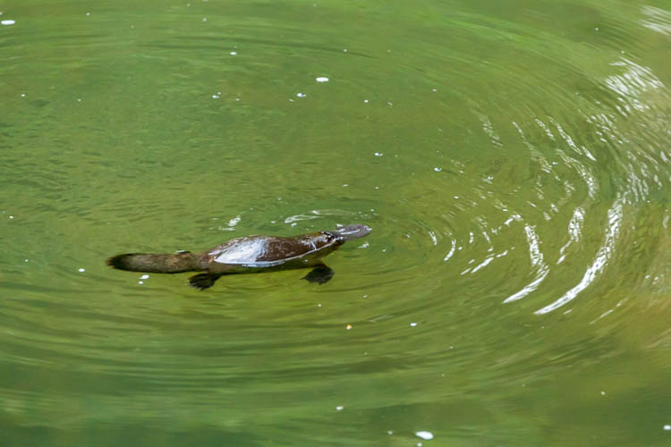 Image of platypus in Broken River at Eungella National Park