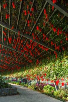 View along an arbour walkway covered in Flame-of-the-Forest vines in bloom