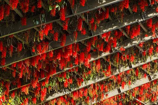 Red Flame-of-the-Forest flowers in bloom on an arbour frame in a city park