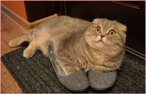 Кошка Зоя любит хозяйку и её тапочки