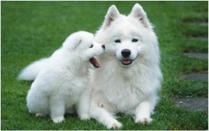 Собака шпиц с щенком