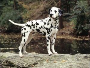 Собака долматин