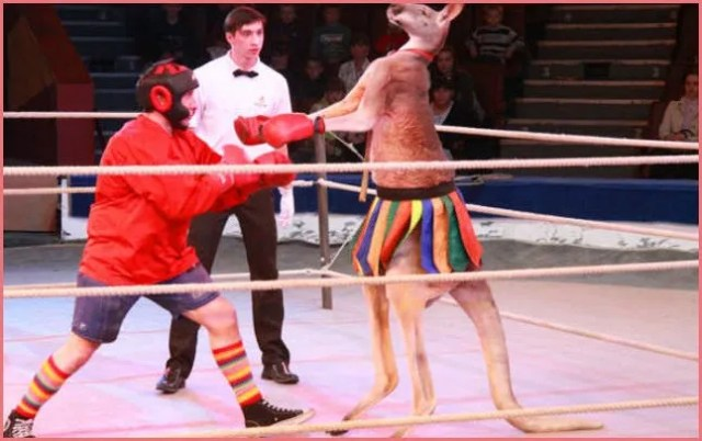Кенгуру на ринге