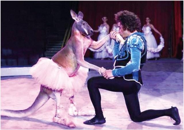 кенгуру танцует