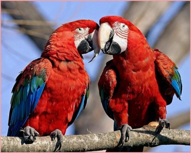 Картинка попугаи