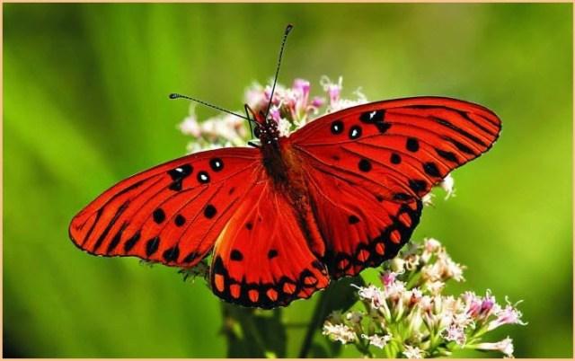 картинка красная бабочка