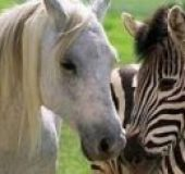 Zebra trkačica (2005) - Racing Stripes (2005) - Sinhronizovani crtani online
