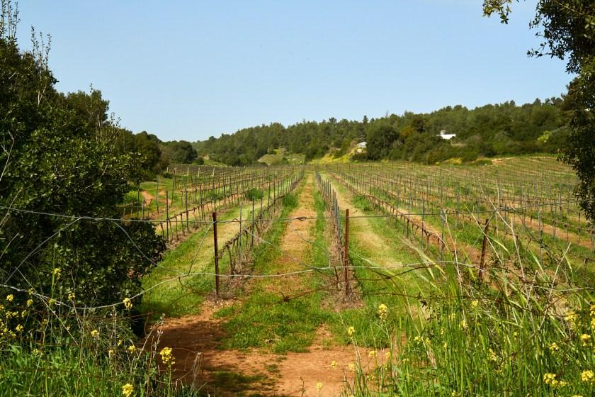 Израиль виноградники