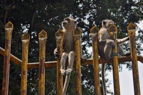 Affen auf dem Weg zu den Batu Caves