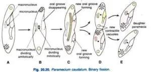 Paramecium caudatum Habitat Structure and locomotion 23