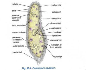 Paramecium caudatum Habitat Structure and locomotion 2
