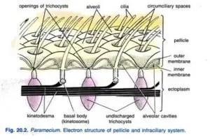 Paramecium caudatum Habitat Structure and locomotion 3