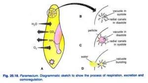 Paramecium caudatum Habitat Structure and locomotion 20