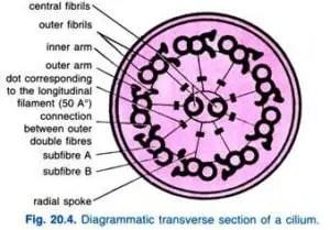 Paramecium caudatum Habitat Structure and locomotion 7